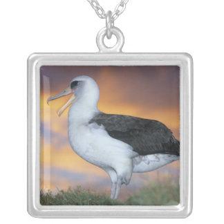 Albatros Laysan, (immutabilis de Diomedea), los E. Grimpolas