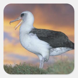 Albatros Laysan, (immutabilis de Diomedea), los Pegatina Cuadrada