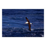 Albatros Negro-Cejudo en vuelo Posters