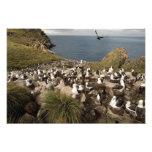 albatros Negro-cejudo, Thalassarche Fotografías