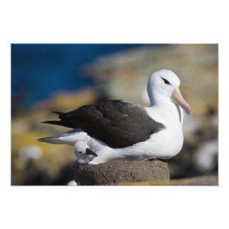 albatros Negro-cejudo Thalassarche Foto