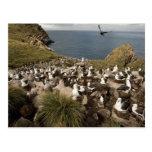 albatros Negro-cejudo, Thalassarche Postal