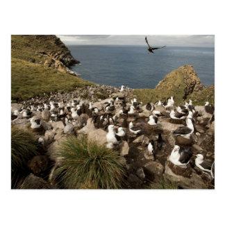 albatros Negro-cejudo Thalassarche Postales