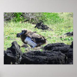 Albatross Chick Poster