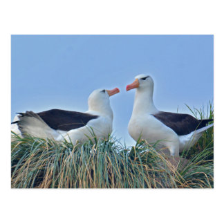 Albatross Couple in Nest Postcard