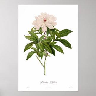 Albiflora de Peonia Poster