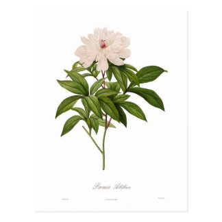 Albiflora de Peonia Tarjeta Postal