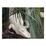 Albino Alligator Photo Art