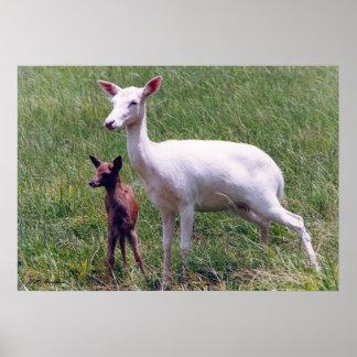 Albino Antelope and Baby Poster