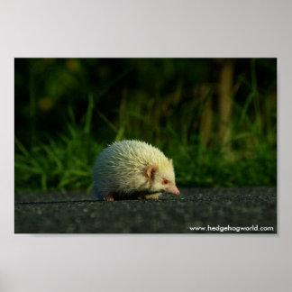 Albino hedgehog poster