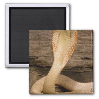 Albino Monacled Cobra, Naja kaouthia, coiled 2 Inch Square Magnet