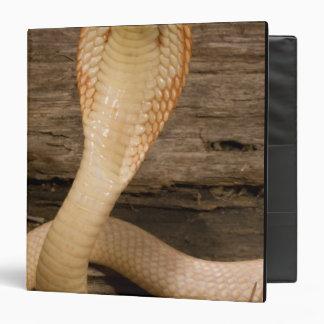 Albino Monacled Cobra, Naja kaouthia, coiled Binder