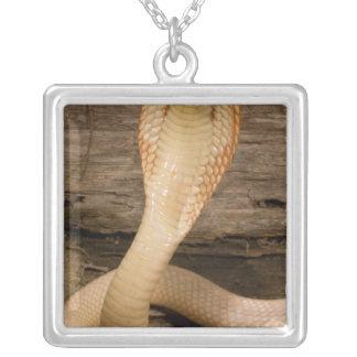 Albino Monacled Cobra, Naja kaouthia, coiled Pendant