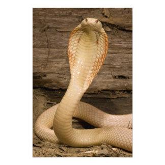 Albino Monacled Cobra, Naja kaouthia, coiled Photo Print