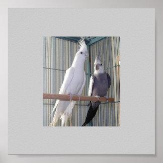 albino-pair poster