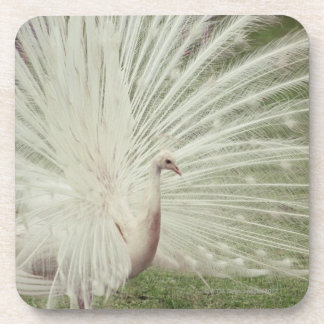 Albino peacock coaster