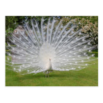 Albino Peacock Displays Feathers Postcard