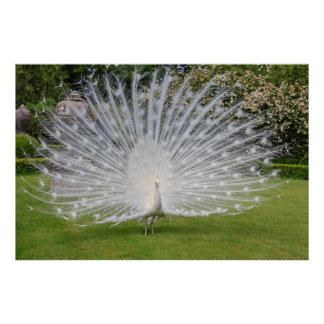 Albino Peacock Displays Feathers Poster