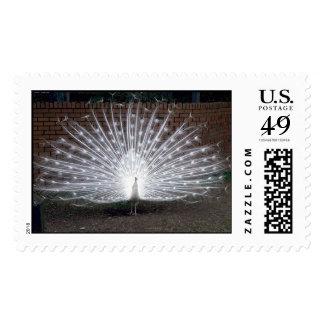 Albino Peacock Postage Stamp