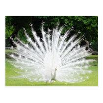 Albino-Peacock Postcard