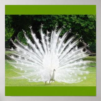 Albino-Peacock Poster