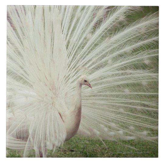 Albino peacock tile