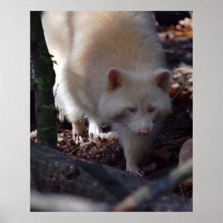 Albino Raccoon Poster