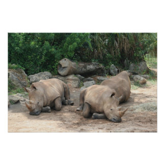 Albino Rhino Poster