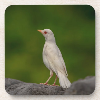 Albino Robin in Crown Point Beverage Coaster