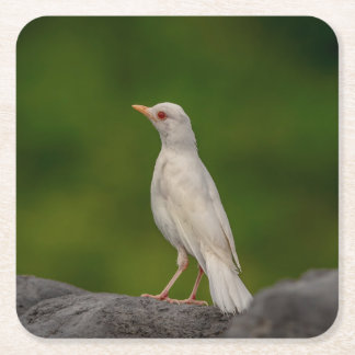Albino Robin in Crown Point Square Paper Coaster