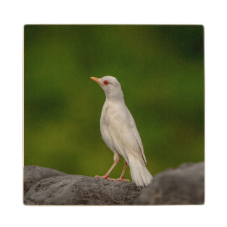 Albino Robin in Crown Point Wood Coaster