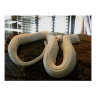 Albino Snake Posters