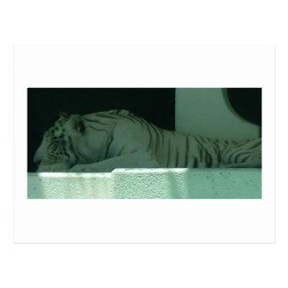 Albino Tiger Postcard