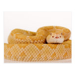 Albino Western diamondback rattlesnake (Crotalus A Postcard