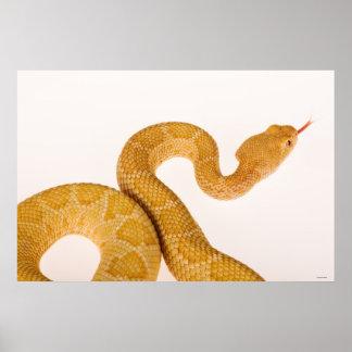 Albino Western diamondback rattlesnake (Crotalus A Print