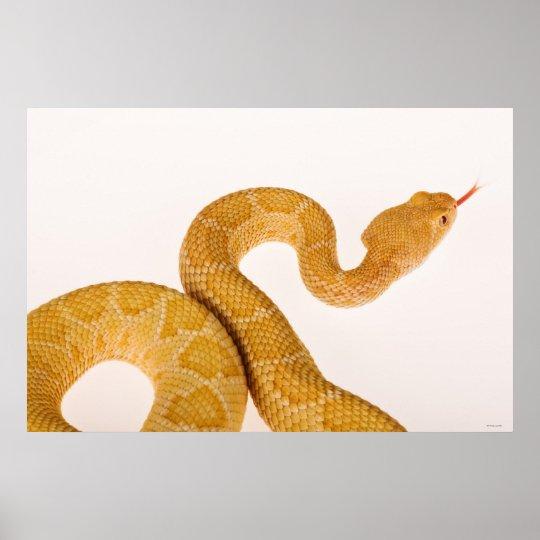 Albino Western diamondback rattlesnake (Crotalus A Poster