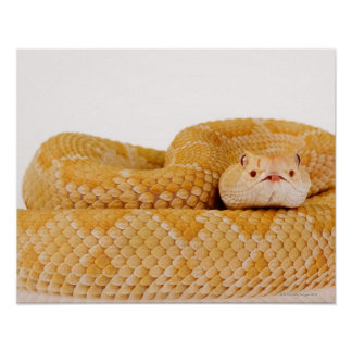 Albino Western diamondback rattlesnake (Crotalus A Posters