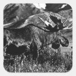 Alces 1970 del toro de los E.E.U.U. Alaska Pegatina Cuadrada