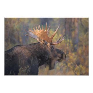 alces alces del Alces toro en Teton magnífico Impresión Fotográfica