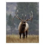 Alces bugling, Yellowstone NP, Wyoming 2 de Bull Impresiones