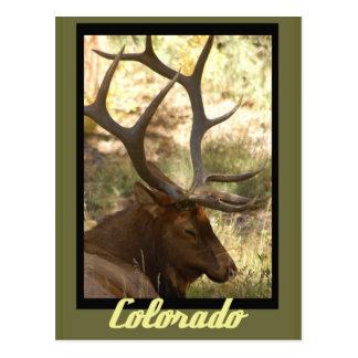 Alces Colorado de Bull Tarjetas Postales