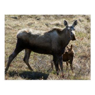 Alces de Alaska de la vaca con el becerro Postales