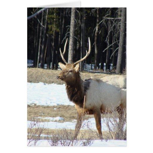 Alces de Banff Tarjeta