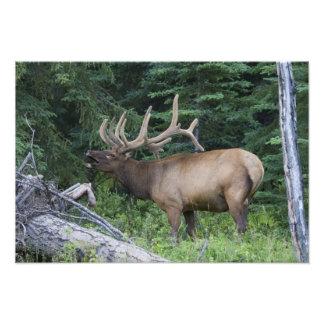 Alces de Bugling en el parque nacional de Banff, C Cojinete