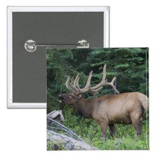 Alces de Bugling en el parque nacional de Banff, C Pin Cuadrada 5 Cm