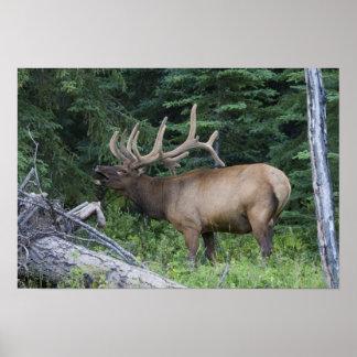 Alces de Bugling en el parque nacional de Banff, C Póster