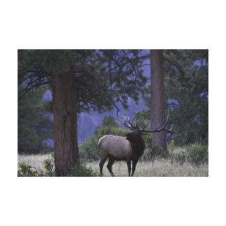 Alces de Bugling en Parque Nacional de las Montaña Impresión En Lona Estirada