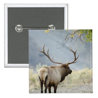 Alces de Bull, canadensis del Cervus, en Pin Cuadrada 5 Cm