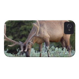 Alces de Bull con las astas en terciopelo que past iPhone 4 Case-Mate Cobertura