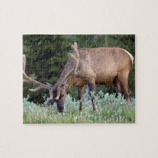 Alces de Bull con las astas en terciopelo que past Puzzle Con Fotos